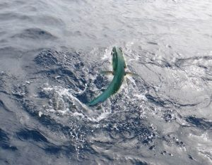Mahi hooked and in action