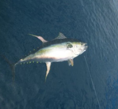 Fat Yellowfin Tunas in July