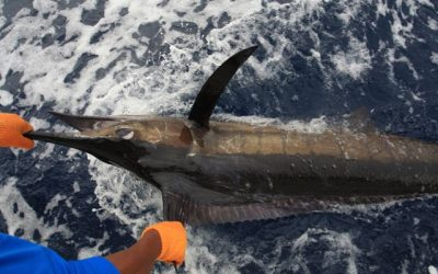 Marlin, Tuna, Cubera Report