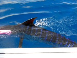 Fishing Photos, Striped Marlin
