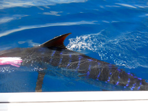 Crew, Striped Marlin