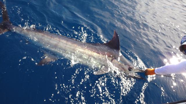 Billfish slam panama come fish panama for Davey s locker fish report